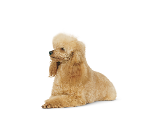 Poodle Adult