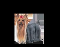 Yorkshire Terrier Adult natvoer