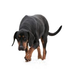 Polish Hunting hound
