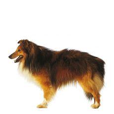 Schotse Herder Langhaar