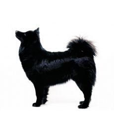 Zweedse Lappenhond